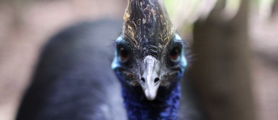 Feed Out Cassowary